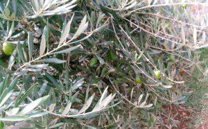 Smak wakacji-oliwa z oliwek,jakie ma dla Nas dary?